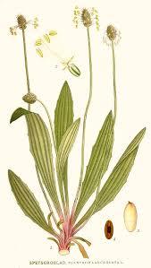 Ribwort Plantain – Plantago lanceolata