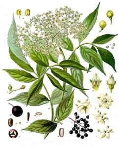 Elder – Sambucus nigra