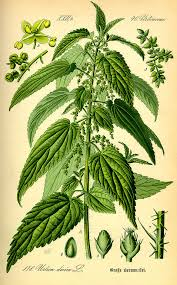 Stinging nettle – Urtica dioica